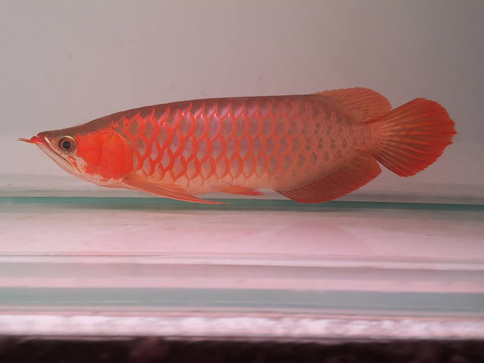 QUALITY AROWANA, CHILI RED, GOLD, SILVER AND OTHERS (gregpints007@gmail.com).