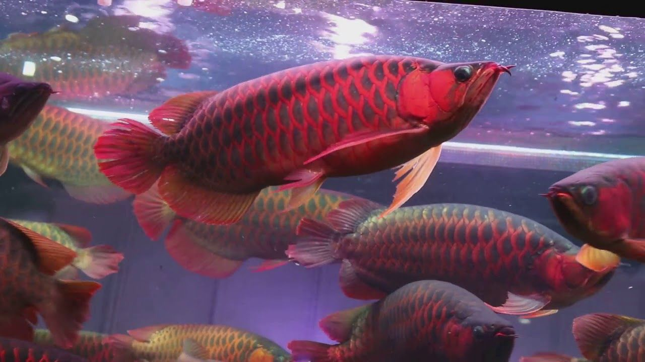 Arowana Fishes for sale